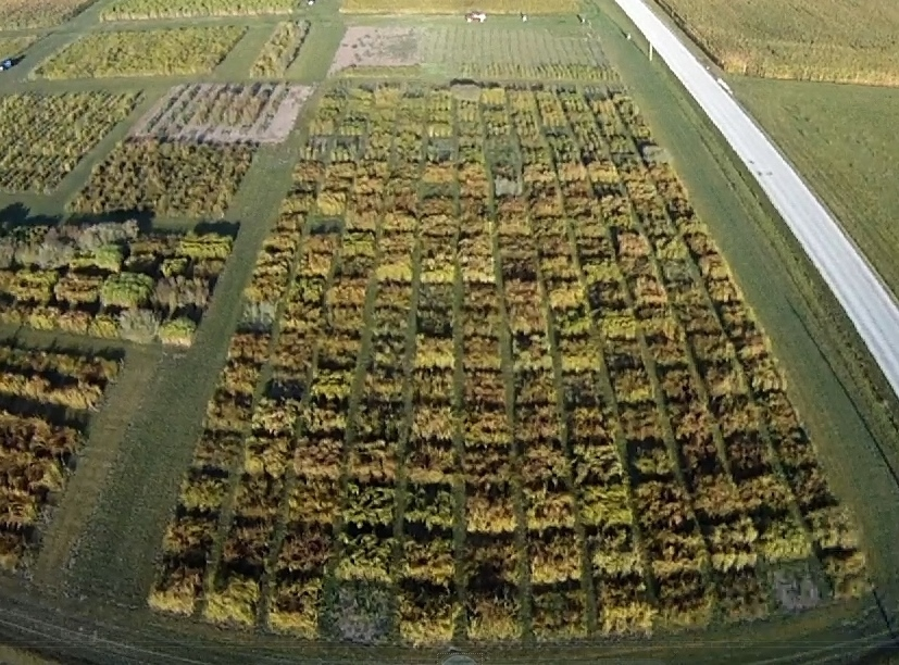 Switchgrass Selection Nursery